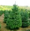Как сохранить новогоднюю елку свежей.