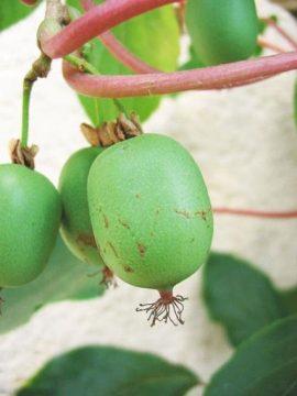 Секреты выращивания мини-киви (актинидии)